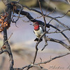 Red-headed Woodpecker <br /> Portage Des Sioux