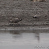 Herring and 1st cycle California Gull <br /> Ellis Bay <br /> Riverlands Migratory Bird Sanctuary