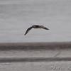 1st cycle California Gull <br /> Ellis Bay <br /> Riverlands Migratory Bird Sanctuary