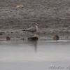 California Gull (1st cycle) <br /> Ellis Bay <br /> Riverlands Migratory Bird Sanctuary