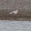 Herring Gull <br /> Ellis Bay <br /> Riverlands Migratory Bird Sanctuary