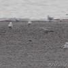 """""""Mew-like"""" Ring-billed <br /> Ellis Bay <br /> Riverlands Migratory Bird Sanctuary"""