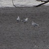 unknown Gull (all black bill)<br /> Ellis Bay <br /> Riverlands Migratory Bird Sanctuary