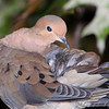 Mourning Dove <br /> City of Bridgeton <br /> St. Louis County, Missouri <br /> 2009-10-17