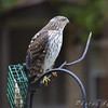 Red-shouldered Hawk <br /> Through the window <br /> City of Bridgeton <br /> St. Louis County, Missouri <br /> 2009-10-09