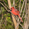 Northern Cardinal <br /> City of Bridgeton <br /> St. Louis County, Missouri <br /> 2009-10-17