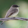 Eastern Phoebe  <br /> City of Bridgeton <br /> St. Louis County, Missouri <br /> 2009-10-13
