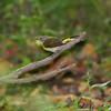 American Redstart <br /> Tower Grove Park