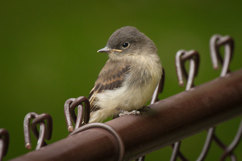 young - Eastern Phoebe