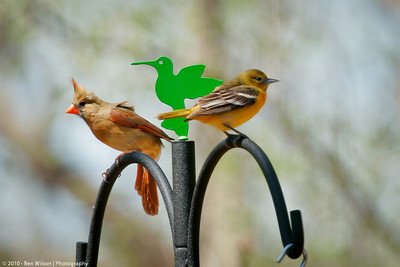 Female Cardinal and female Baltimore Oriole