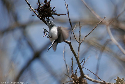 Blue-gray Natcatcher