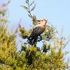 Red-bellied Woodpecker <br /> Cuba, Mo.