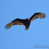 Turkey Vulture <br /> Cuba, Mo.