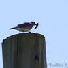Eastern Bluebird <br /> Cuba, Mo.