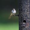 Chipping Sparrow <br /> Cuba, Mo.