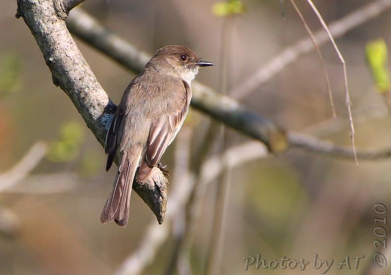 Eastern Phoebe <br /> Castlewood State Park