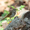 Hermit Thrush <br /> Tower Grove Park <br /> St. Louis, Mo.