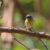 Northern Parula <br /> Tower Grove Park <br /> St. Louis, Mo.