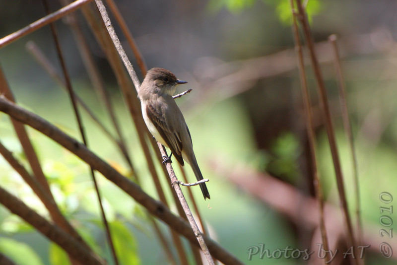 Eastern Phoebe <br /> Tower Grove Park <br /> St. Louis, Mo.
