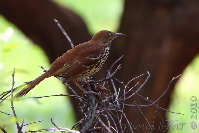 Brown Thrasher <br /> Tower Grove Park <br /> St. Louis, Mo.
