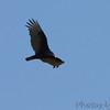 Turkey Vulture <br /> Castlewood State Park