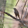 Hermit Thrush <br /> Hickory Woods Conservation Area <br /> Bridgeton Mo.