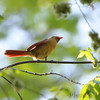 Northern Cardinal <br /> Hickory Woods Conservation Area <br /> Bridgeton Mo.
