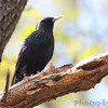 European Starling <br /> Hickory Woods Conservation Area <br /> Bridgeton Mo.