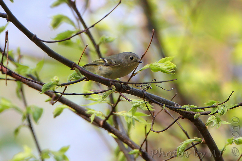 Ruby-crowned Kinglet <br /> Hickory Woods Conservation Area <br /> Bridgeton Mo.