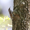Brown Creeper <br /> Hickory Woods Conservation Area <br /> Bridgeton Mo.