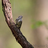 Yellow-rumped Warbler <br /> Hickory Woods Conservation Area <br /> Bridgeton Mo.