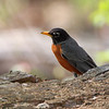 American Robin <br /> Hickory Woods Conservation Area <br /> Bridgeton Mo.