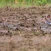 Pectoral Sandpipers <br /> Prouhet Farm Road <br /> Bridgeton Bottoms <br /> St. Louis County