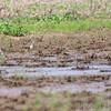 American Golden Plovers <br /> Prouhet Farm Road <br /> Bridgeton Bottoms <br /> St. Louis County