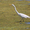 Great Egret <br /> Hwy 94 & H <br /> St. Charles County