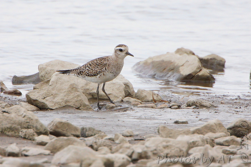 American Golden Plover <br /> Ellis Bay <br /> Riverlands Migratory Bird Sanctuary