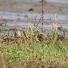 Wilson's Snipe <br /> Hwy 94 & H <br /> St. Charles County