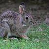 Cottontail Rabbit <br /> Bridgeton Missouri