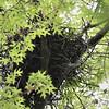 Cooper's Hawk nest <br /> Bridgeton Missouri