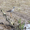 Greater Yellowlegs <br /> Sand Road <br /> St. Charles County