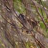 Swamp Sparrow <br /> BK Leach Conservation Area