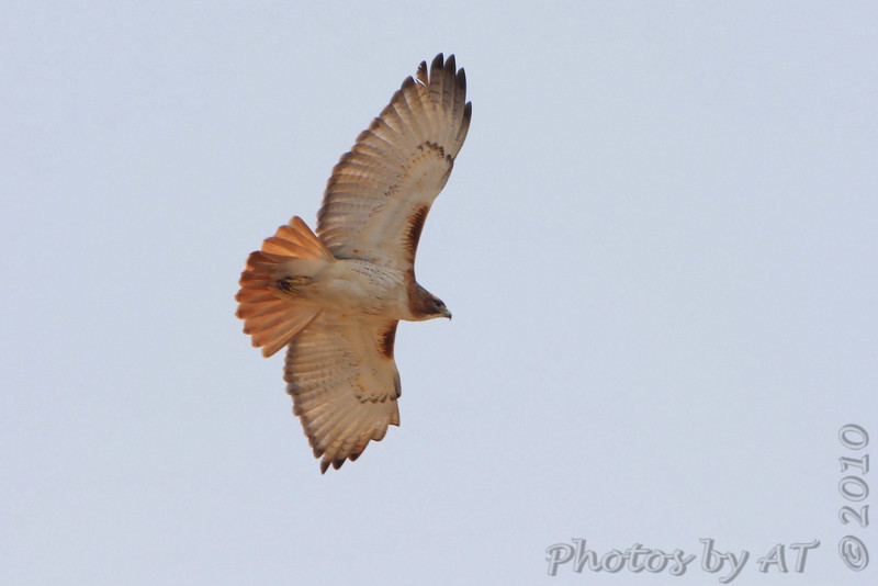 Red-tailed Hawk <br /> Hwy B <br /> St. Charles County