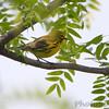 Prairie Warbler  <br /> Weldon Spring Conservation Area <br /> 2010-04-22<br /> <br /> No. 278 on my Lifetime List of Bird Species <br /> Photographed in Missouri.