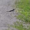 Killdeer <br /> Weldon Spring Conservation Area