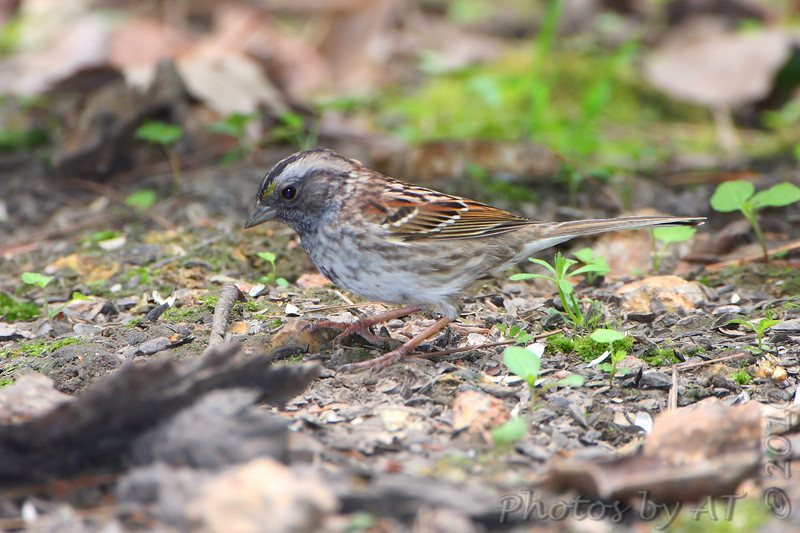White-throated Sparrow <br /> Busch Wildlife Area