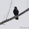 Fish Crow   <br /> Weldon Spring Conservation Area