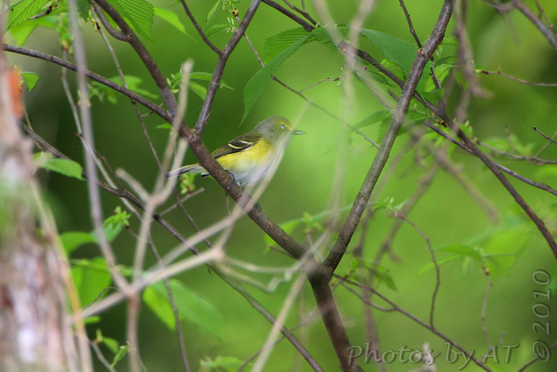 White-eyed Vireo <br /> Lost Valley Trail <br /> Weldon Spring Conservation Area