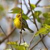 Prairie Warbler  <br /> Weldon Spring Conservation Area