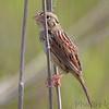Henslow's Sparrow <br /> Weldon Spring Site Interpretive Center Prairie <br /> Weldon Spring Conservation Area <br /> 2010-04-22<br /> <br /> No. 277 on my Lifetime List of Bird Species <br /> Photographed in Missouri
