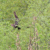 Great Horned Owl <br /> Hwy 94 and H <br /> St. Charles County